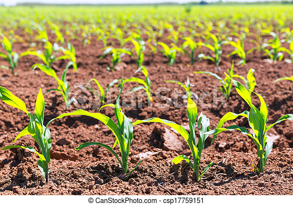 Corn fields sprouts in rows in California agriculture - csp17759151