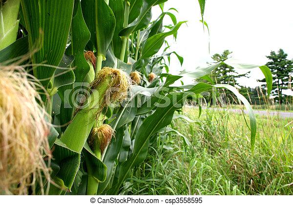 Corn growing on a farm - csp3558595