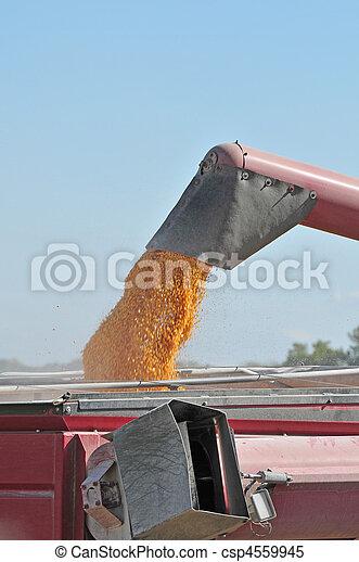 corn harvesting - csp4559945