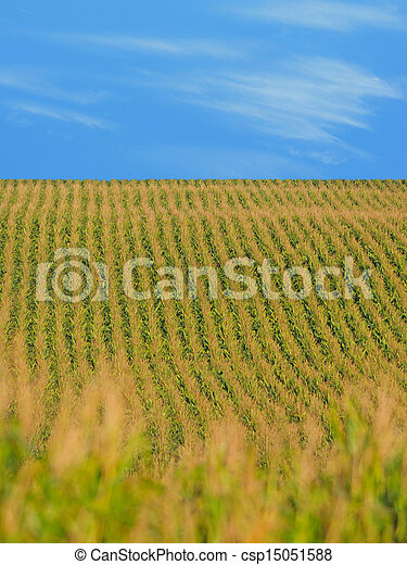 corn on a farm in the Midwest - csp15051588