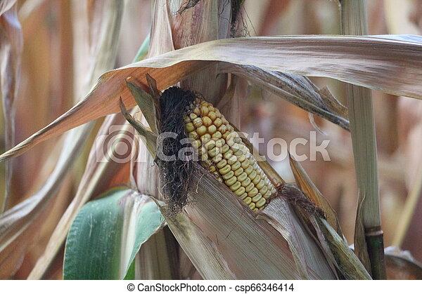Corn on a field - csp66346414