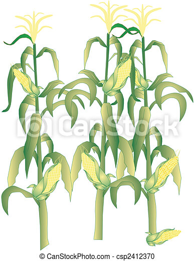 Corn on the cob stalks illustration - csp2412370