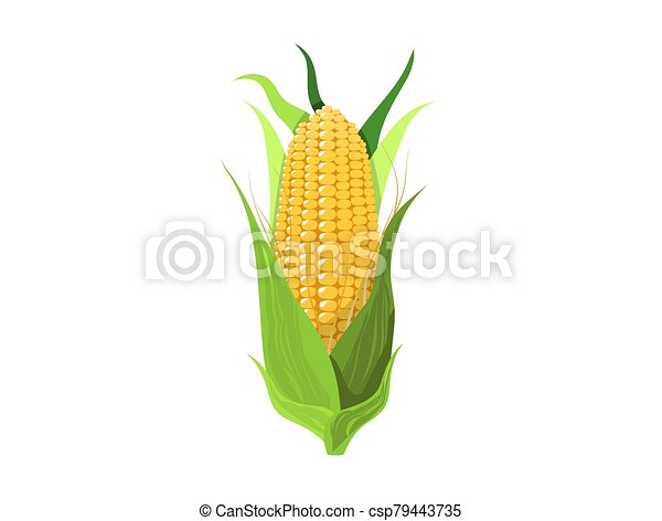 Corn on white background - csp79443735