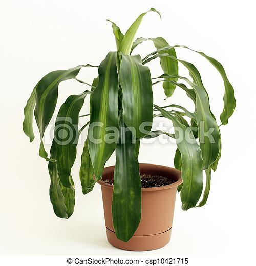 Corn Plant Houseplant - csp10421715