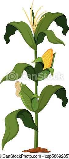 Corn Plant on White Background - csp58692857