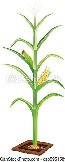 corn plant on white background vector design - csp59515890