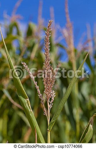 Corn plant - csp10774066