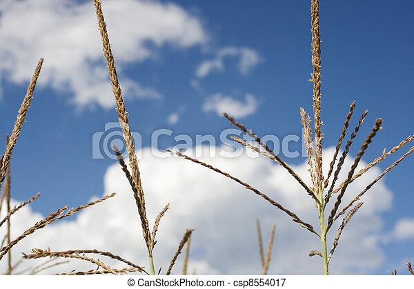 Corn plants on a farm - csp8554017