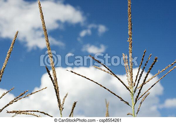 Corn plants on a farm - csp8554261