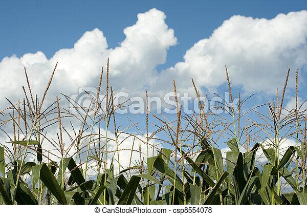 Corn plants on a farm - csp8554078
