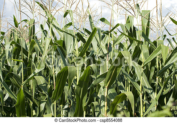 Corn plants on a farm - csp8554088