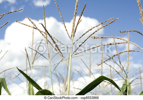 Corn plants on a farm - csp8553866