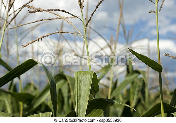 Corn plants on a farm - csp8553936