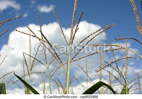 Corn plants on a farm - csp8553966