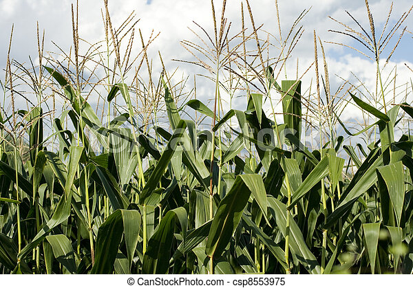 Corn plants on a farm - csp8553975