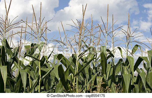 Corn plants on a farm - csp8554175