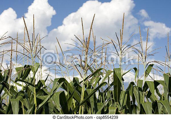 Corn plants on a farm - csp8554239