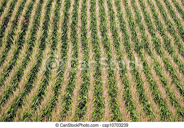 Corn plants on a farm - csp10703239