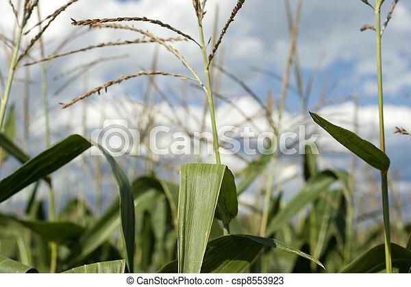 Corn plants on a farm - csp8553923