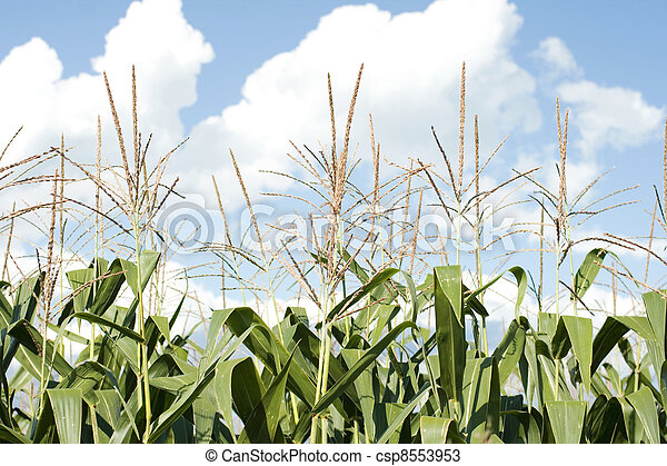 Corn plants on a farm - csp8553953
