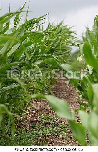 Corn plants - csp0229185
