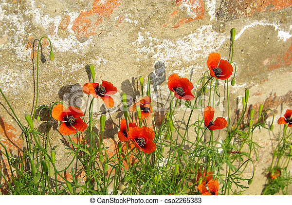 corn poppy before the wall 02 - csp2265383