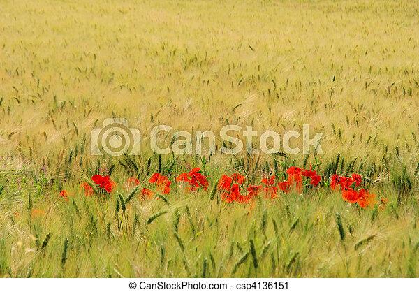 corn poppy in field 02 - csp4136151