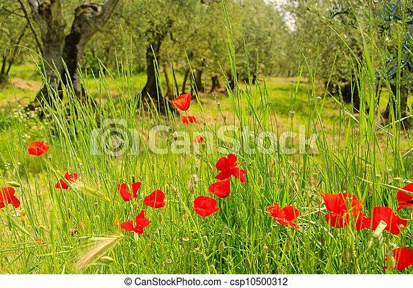 corn poppy in olive grove 02 - csp10500312