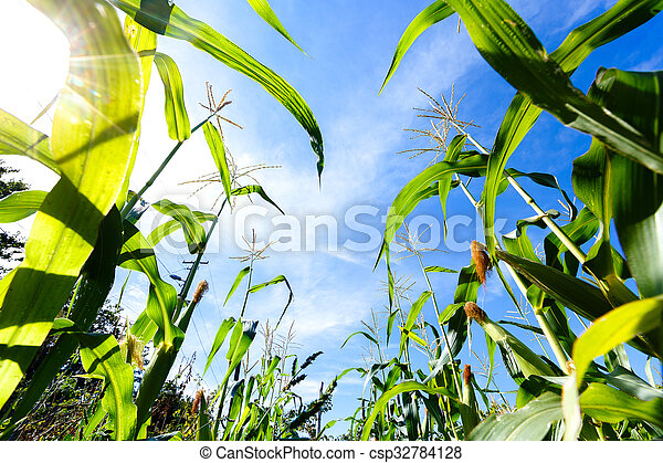 corn sprouts on a blue sky background, view from the bottom - csp32784128