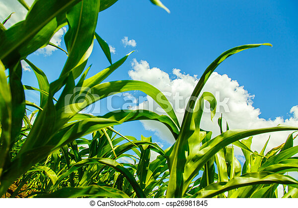 corn sprouts view from the bottom - csp26981845