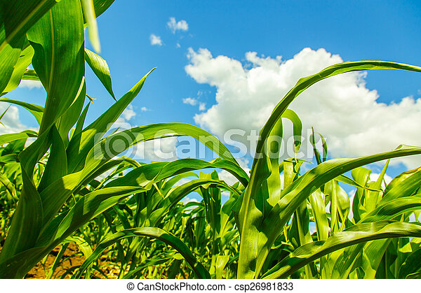 corn sprouts view from the bottom - csp26981833