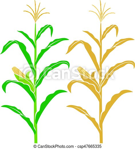 corn stalk vector illustration vectors search clip art rh canstockphoto ca