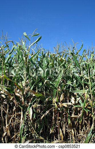 Corn Stalks - csp0853521