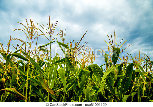 corn - csp51091129