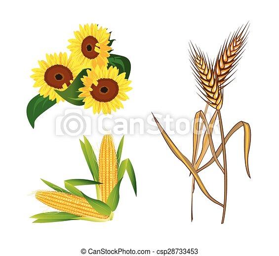 Corn, Sunflowers and Wheat - csp28733453