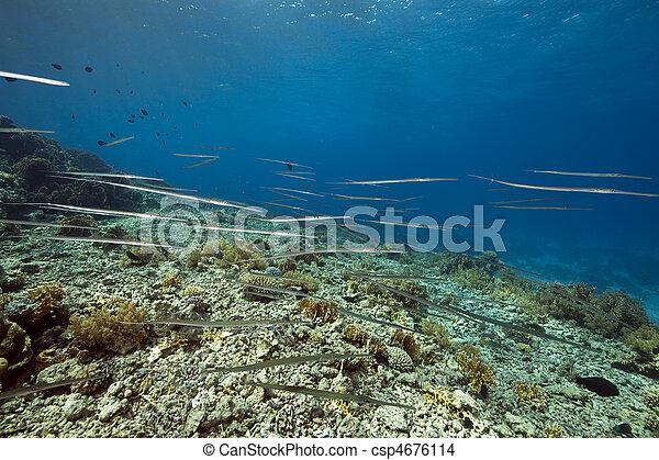 cornetfish and coral garden - csp4676114