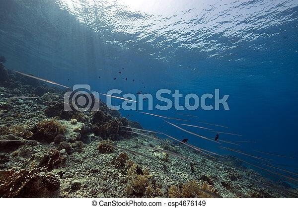 cornetfish and coral garden - csp4676149