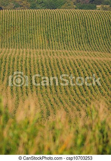 cornfield - csp10703253