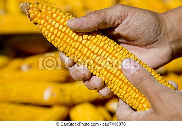 Corns in farmers hands. - csp7413078
