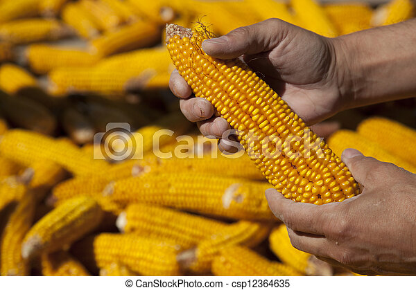 Corns in farmers hands. - csp12364635