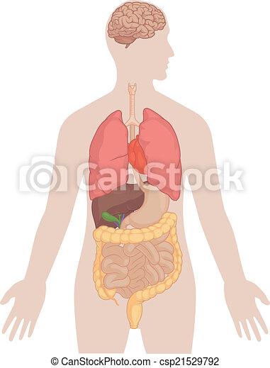 corpo, polmoni, -, anatomia, cervello umano - csp21529792