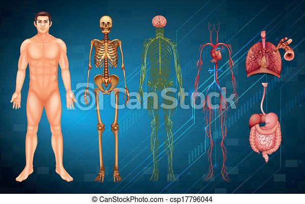 corpo, sistemi, umano - csp17796044