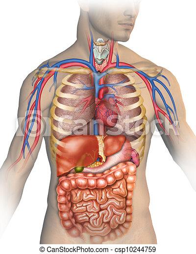 corpo, umano - csp10244759