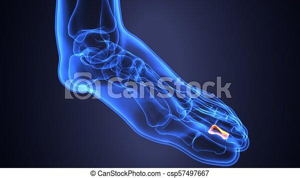 Anatomie Du Pied 3D corps, illustration, anatomie, pied humain, os, 3d. (plural, poids
