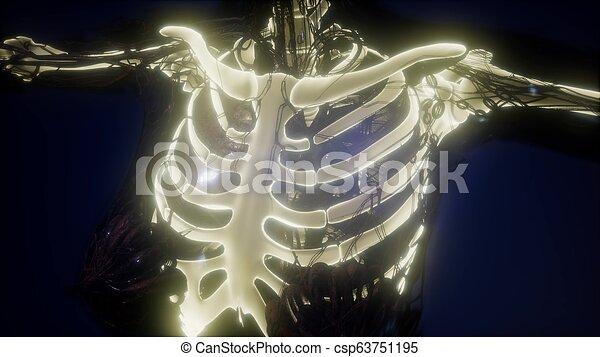 corps, squelettique, os, humain, visible - csp63751195