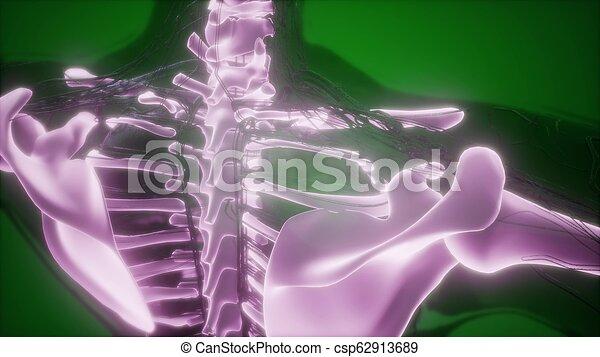 corps, squelettique, os, humain, visible - csp62913689