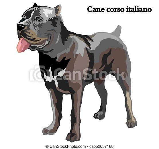 Cane Corso Italiano Vektorgrafik Portrait Des Aufrechten Hundes