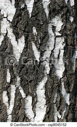 Birch ladra - csp8045152