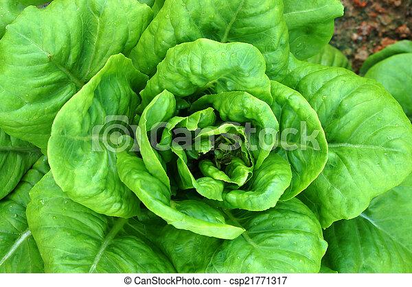 Cos Lettuce - csp21771317