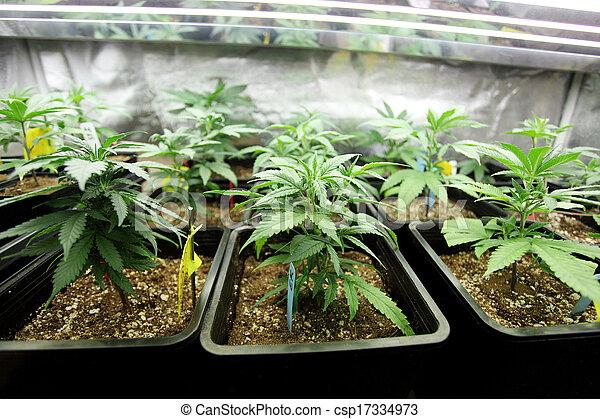 La cosecha de marihuana - csp17334973